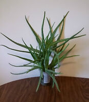 Aloe Vera Plants (5 in one pot) - $20