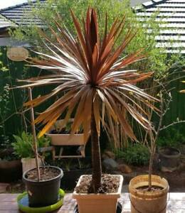 12 year old cordyline red star plants Harrison Gungahlin Area Preview