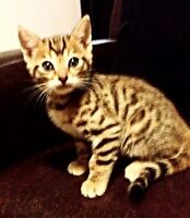 READY NOW! Registered Bengal Kittens