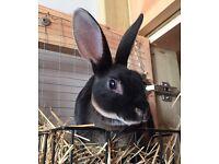 Beautiful Mini Rex Rabbits