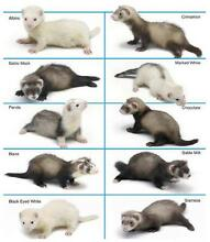 Desexed, Vaccinated & Microchipped Ferret Adoption or Boarding Boronia Knox Area Preview