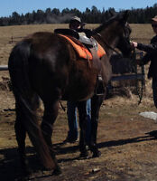 7 year old Thoroughbred Mare