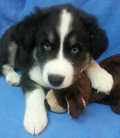 Border Collie/Husky Puppies Available *1 Left* Blue Eyes