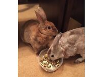 Friendly Rex house rabbits