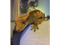 Crested gecko for sale.