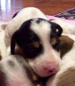 Miniature Dachshund Puppies AVAILABLE! Kawartha Lakes Peterborough Area image 5