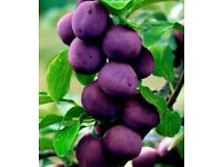 """Plum tree """"Valor"""" or cuttings wanted"""