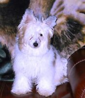 Powder Puff Chinese Crested -puppies,yearling, & retired stud