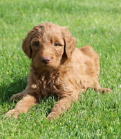 Goldendoodle Puppies   (Golden Retriever / Poodle)