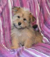 Bichon-Shih/tzu X puppies