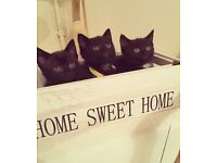 Bombay Kittens 8 weeks boys & girls ready now