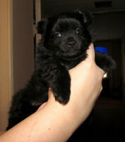 Gorgeous Black Pomeranian Male Puppy