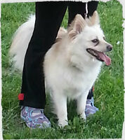pomeranian x american eskimo girl looking for a good hoom