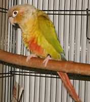 2 year old DNA sexed female cinnamon Conure for sale.