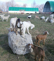 Cashmere producing goats with good meat bodies