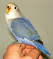 Beautiful young and hand tamed dutch blue Lovebird for sale