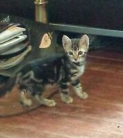 BEAUTIFUL PURE BRED MARBLE BENGAL KITTEN!!NEGO