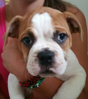 English Bulldog / American Bulldog Puppy 1 female left