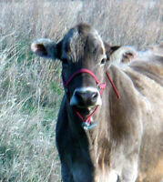 Brown Swiss Cow For Sale