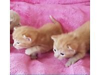 Beautiful rag doll mix breed kittens