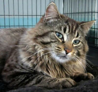 Maine Coon Tabby Mix