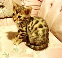 GORGEOUS Bengal Kittens - TICA Registered