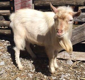 Pygmy goat male intact