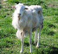 St. Croix proven ram: breeding stock hair sheep purebred