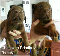 Mastiff Puppies! (Price Reduced!) Cane Corso x Dogge de Bordeaux