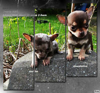 ++++ CHIHUAHUA   A reserver !!!  600$ et + wow!