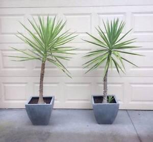 Yukkas in pots - close to 6 feet tall - Yakkas Ashwood Monash Area Preview