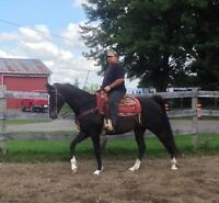Thoroughbred Gelding