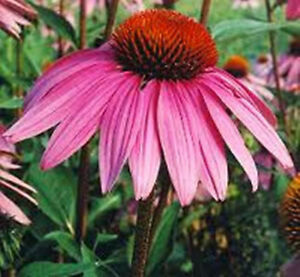 echinacea purpurea 120 samen roter sonnenhut staude. Black Bedroom Furniture Sets. Home Design Ideas