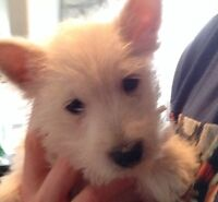 West Highland White Terrier Male Puppy 8 weeks