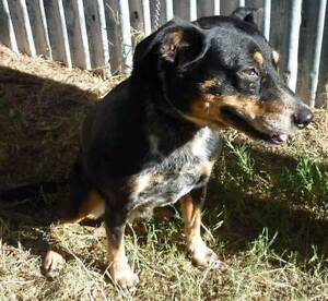 Cattle dog x - ROSIE - (BCDR) South Brisbane Brisbane South West Preview