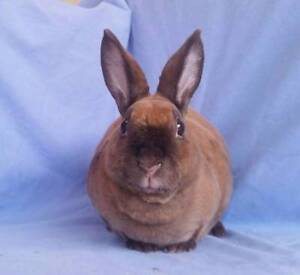 Purebred Mini Rex 'Velveteen' Rabbit - Adult Brood Doe Joondalup Joondalup Area Preview