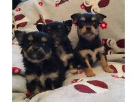 Chihuahua x shih tzu ready now