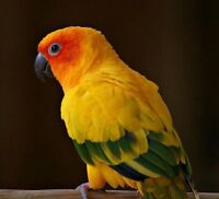 Male Sun Conure(Proven Breeder, Six Years Old)
