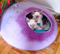 SIAMESE KITTENS CCA reg RESERVE NOW for MAY/ JUNE