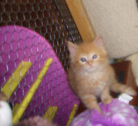 BEAUTIFUL FLUFFY ORANGE KITTENS AVAIL @PETS NEED LOVE 2 RESCUE