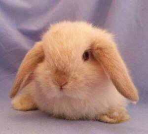 Mini Lop Rabbit Babies - Purebred, friendly and cute! Joondalup Joondalup Area Preview