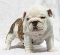 CKC Registered English Bulldogs 5F 2m