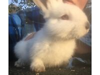 New Zealand X Californian baby bunnies for new homes