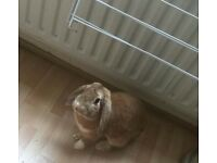 Bunny lop for sale