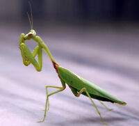 LOOKING FOR A PRAYING MANTIS TO CALL MY OWN.