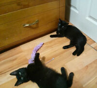 2 Midnight kittens looking for homes!