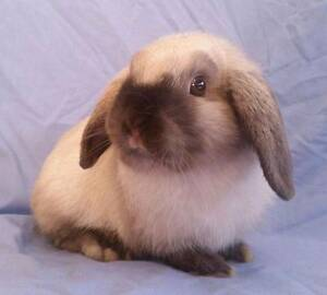 Seal Point Mini Lop Baby - Adorable Purebred Snuggly Bun Joondalup Joondalup Area Preview