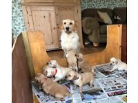 Golden Retriever x Labrador Puppies for Sale