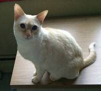 CHAT(TE) SIAMOIS  BLANCHE ADULTE A DONNER