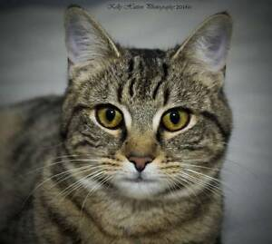 AC0439 : Tully - CAT for ADOPTION - Vet Work Included Beechboro Swan Area Preview